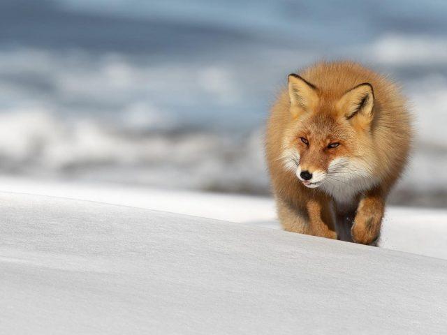 Коричнево-белая лиса стоит в снежном поле лиса