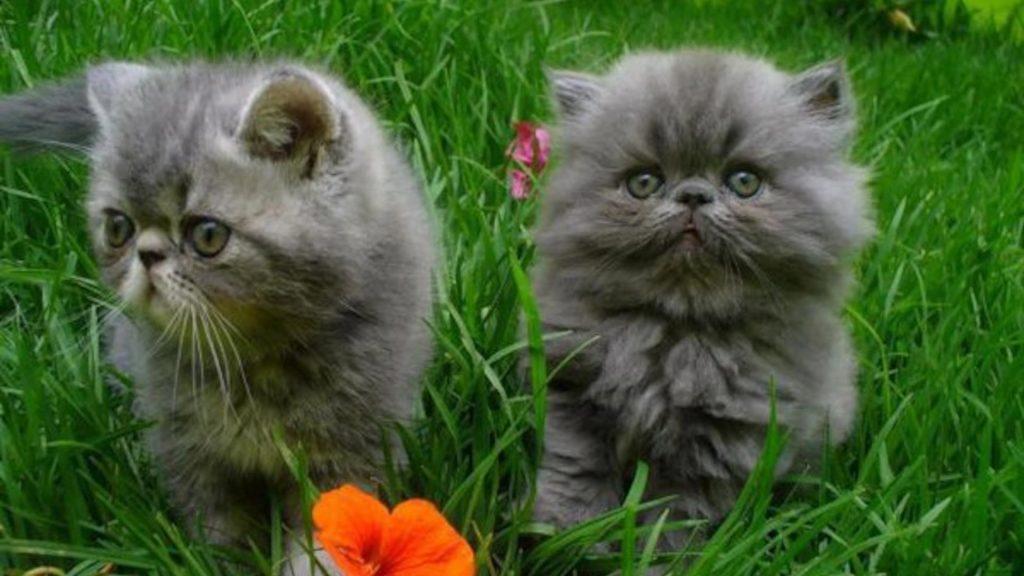 Два пепельно-серых кошачьих котенка стоят на зеленой траве котенка обои скачать