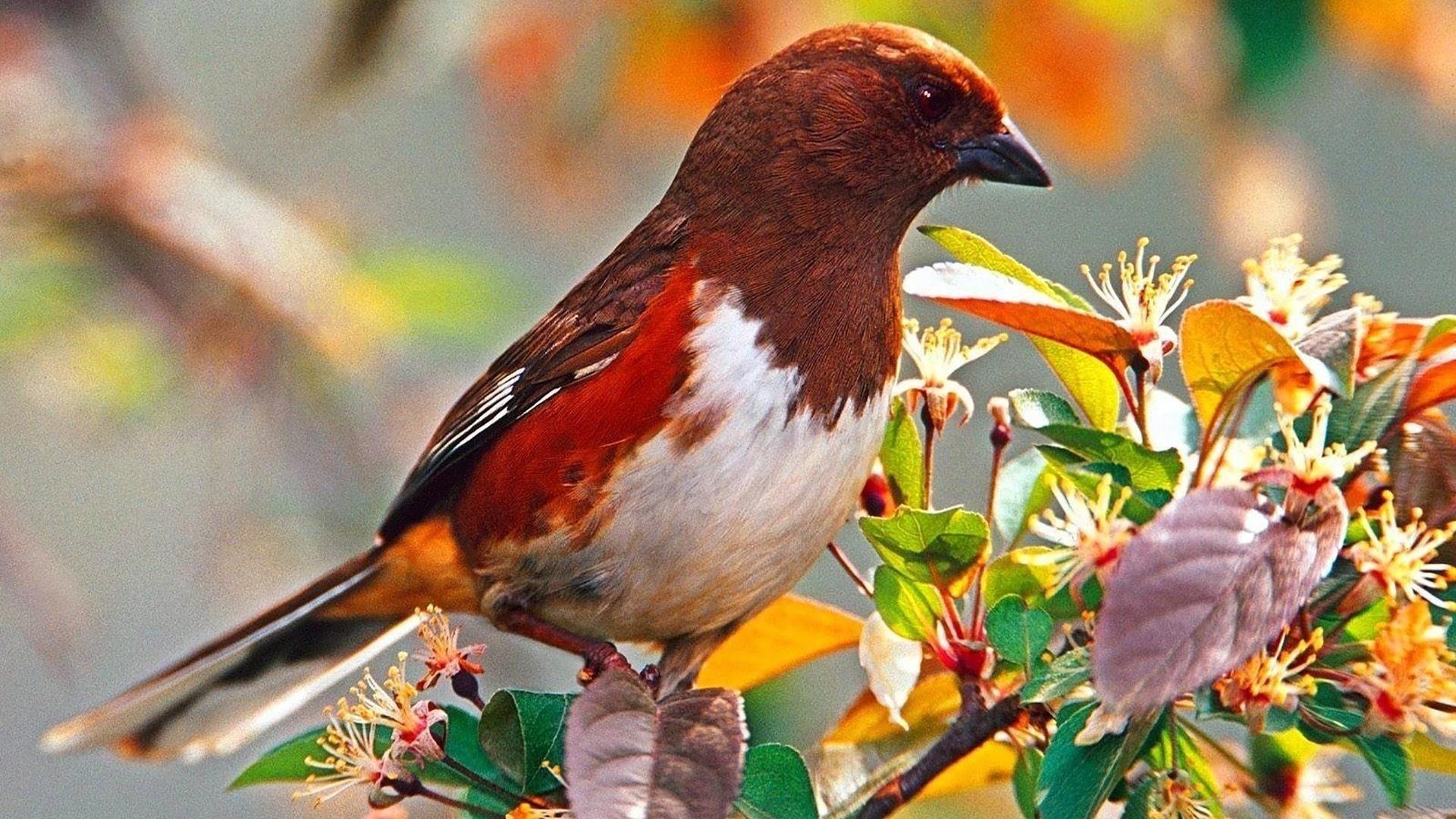 Коричневая белая красная птица сидит на листьях птицы обои скачать