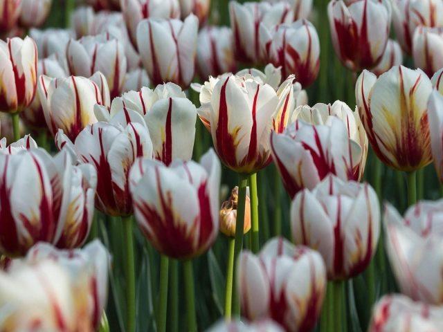 Земля белый тюльпан