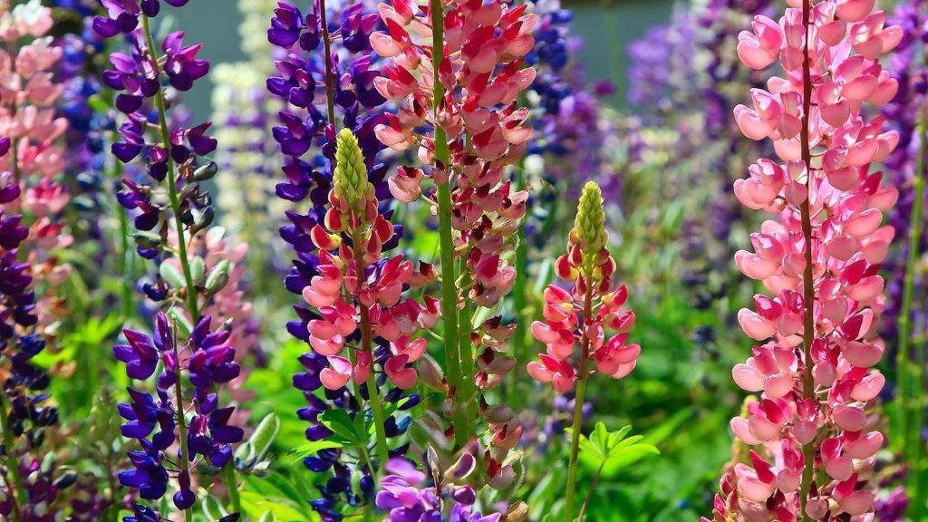 Разноцветные люпины цветочная клумба яркие разные солнечные цветы обои скачать