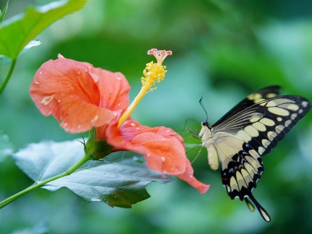 Светло-желтая черная бабочка на цветке гибискуса на сине-зеленом фоне бабочка