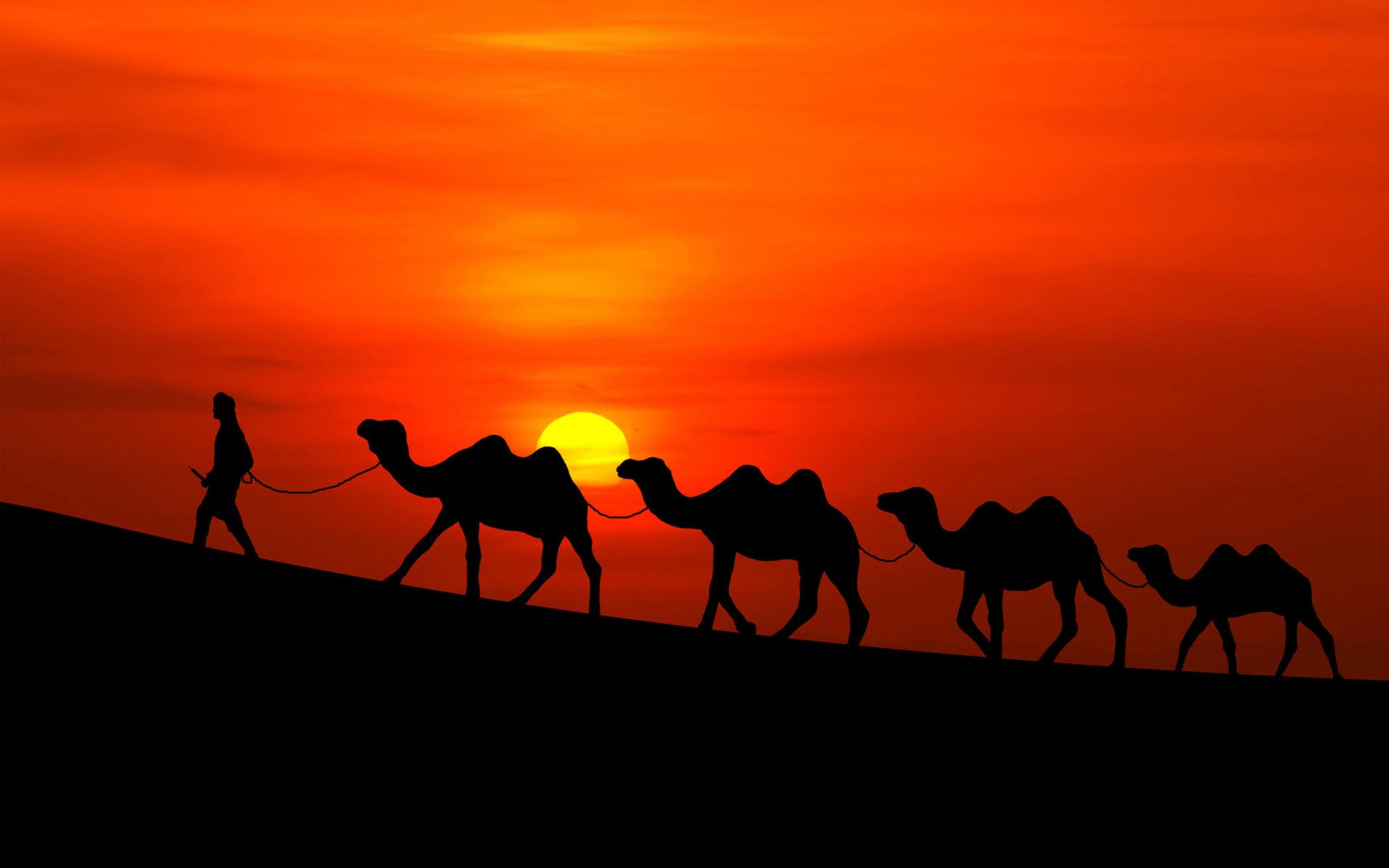 Аравийские верблюды, закат. обои скачать