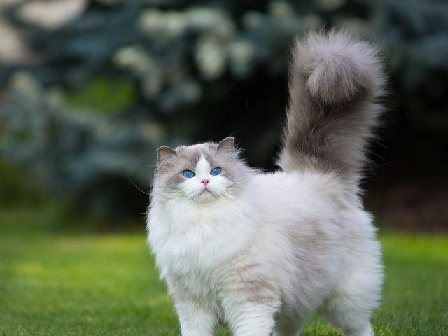 Белая и серая персидская кошка трава зелено голубые глаза