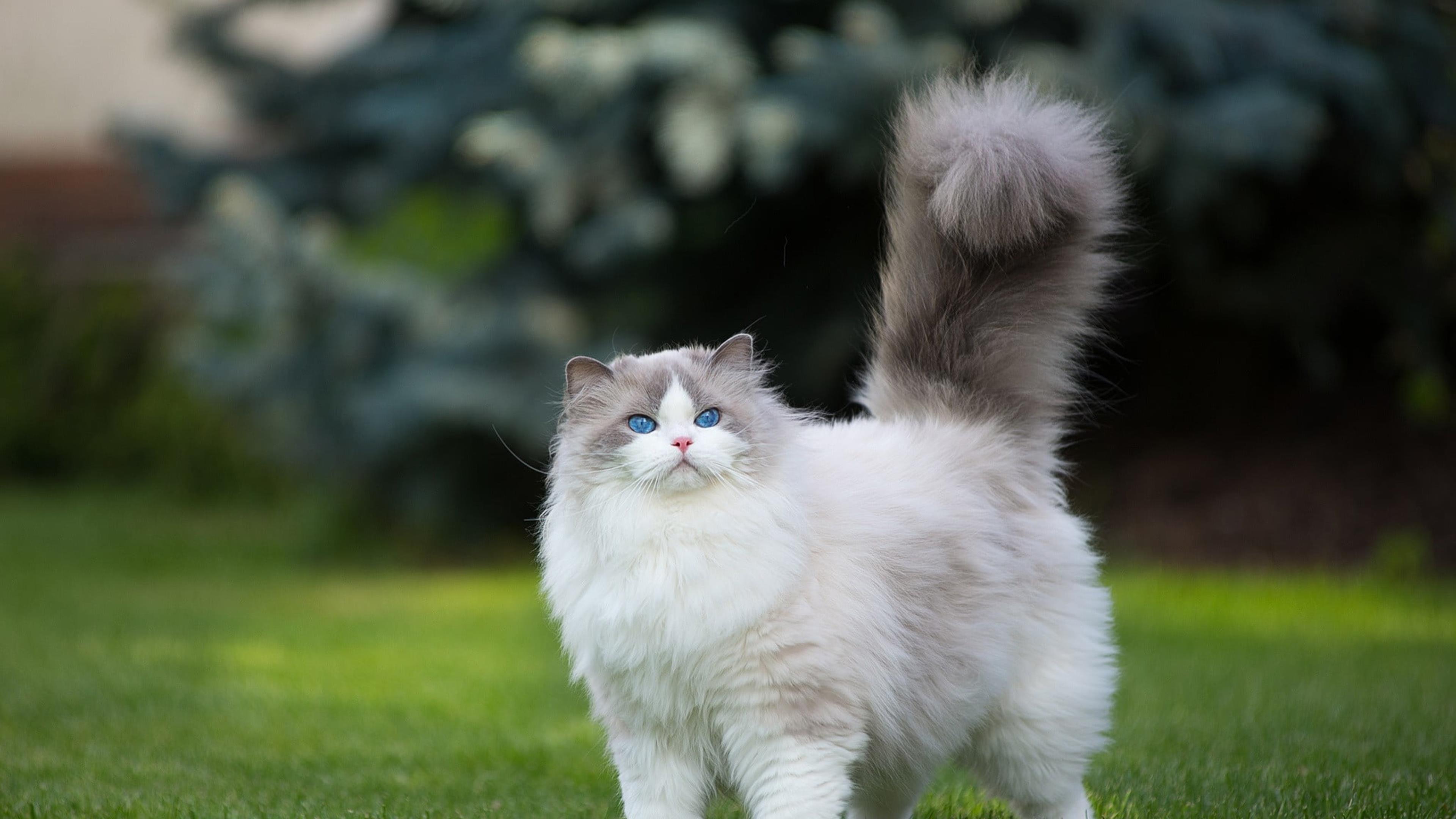 Белая и серая персидская кошка трава зелено голубые глаза обои скачать