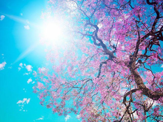 Вишневое цветущее дерево под голубым небом солнечный луч природа
