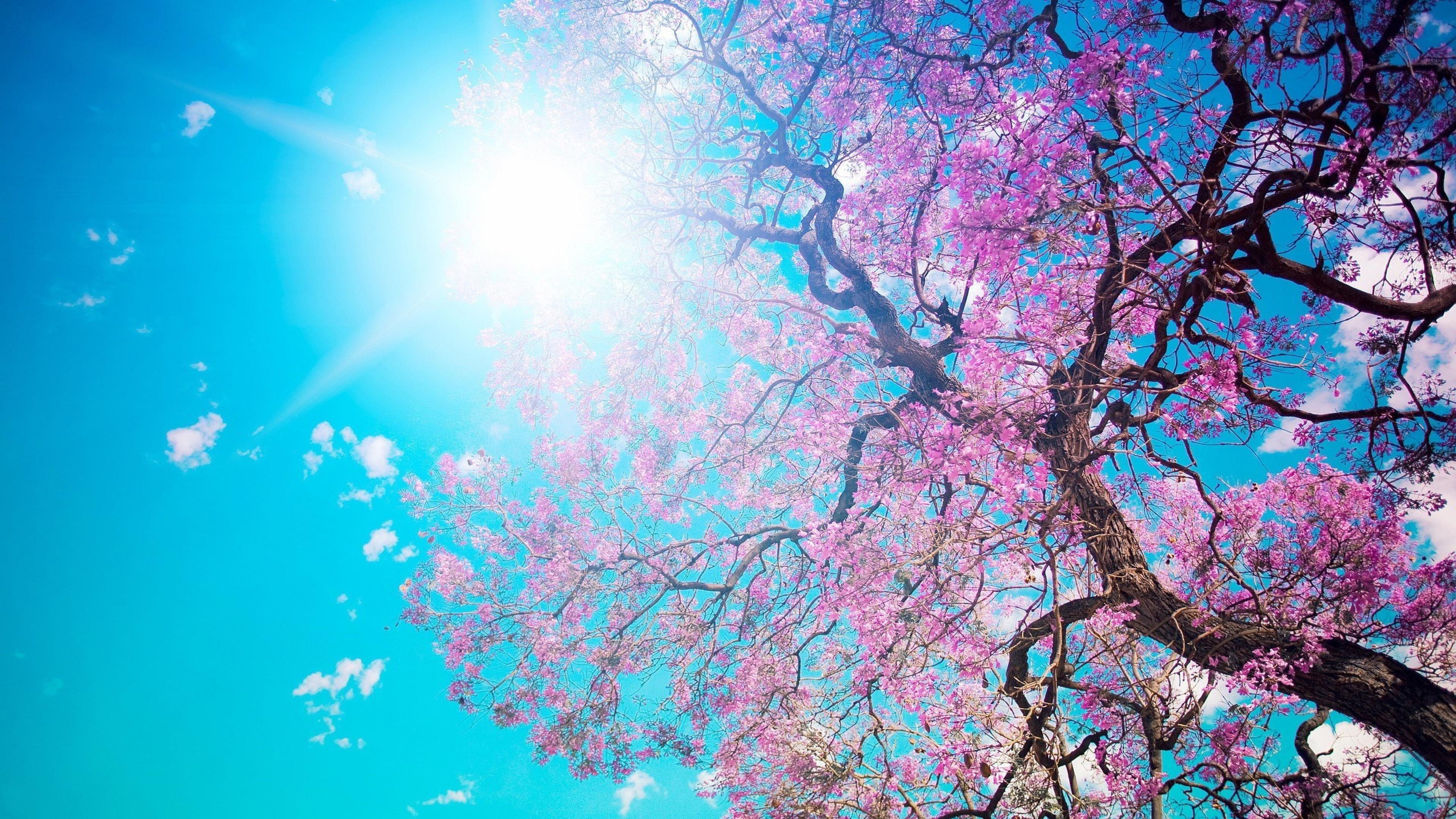 Вишневое цветущее дерево под голубым небом солнечный луч природа обои скачать