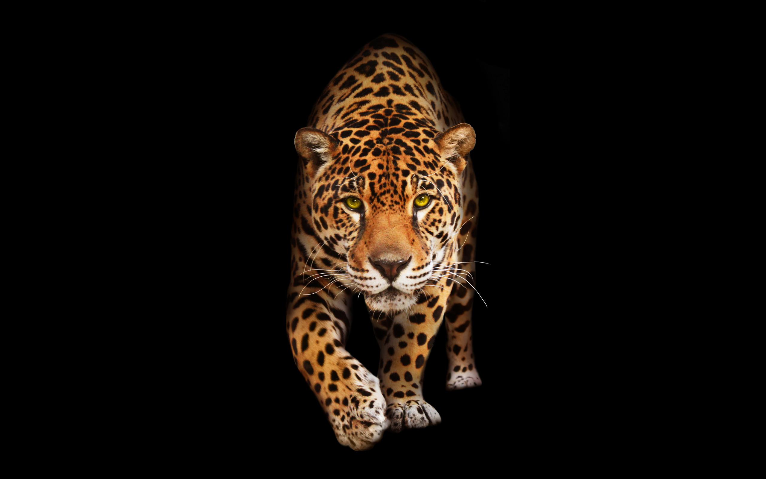 Дикий кот Ягуар обои скачать