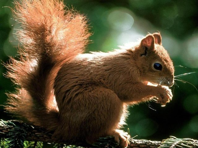 Коричневая белка сидит на ветке дерева и ест орехи на зелено-белом фоне боке белка