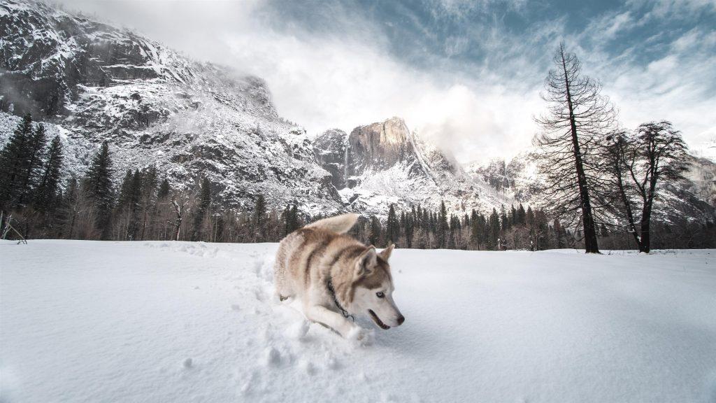 Сибирский хаски стоит на снегу в заснеженных деревьях и на фоне гор собака обои скачать