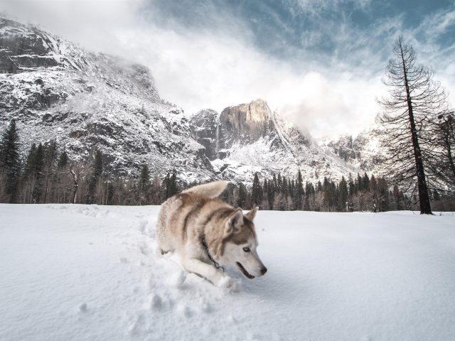 Сибирский хаски стоит на снегу в заснеженных деревьях и на фоне гор собака
