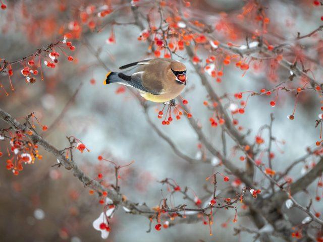 Коричневый пепел пухлая восковая птица на ягодной ветке птицы