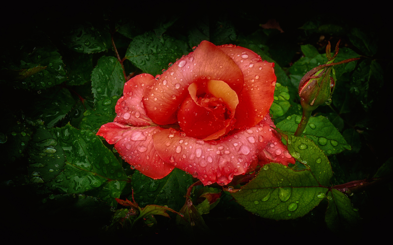 Оранжевые капли, роза обои скачать