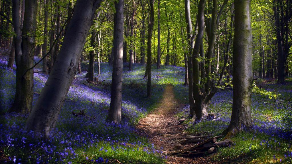 Тропинка между фиолетовыми цветами с покрытой травой землей и зелеными деревьями природа обои скачать