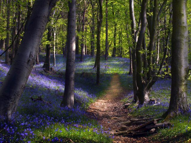 Тропинка между фиолетовыми цветами с покрытой травой землей и зелеными деревьями природа
