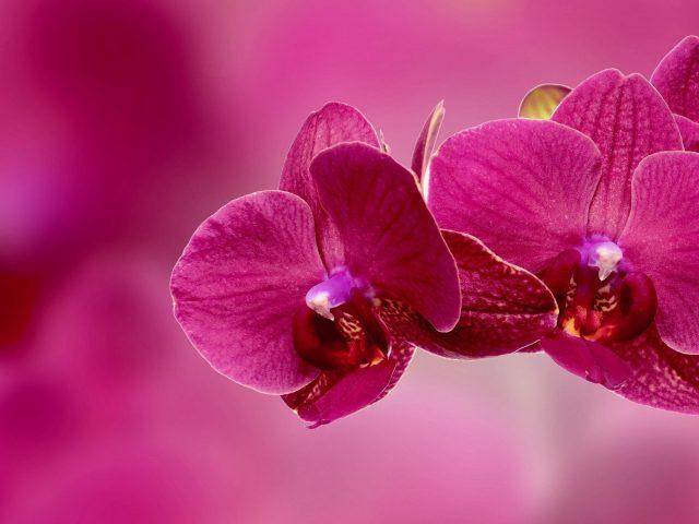 Лепестки цветка орхидеи розовые