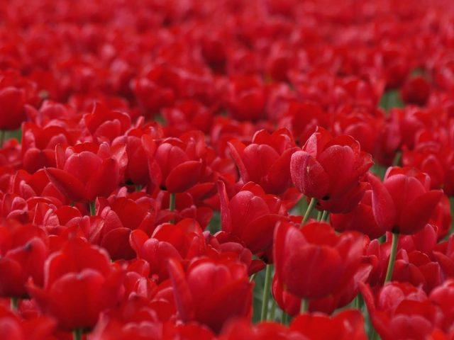 Красные цветы тюльпана полевые цветы на синем фоне