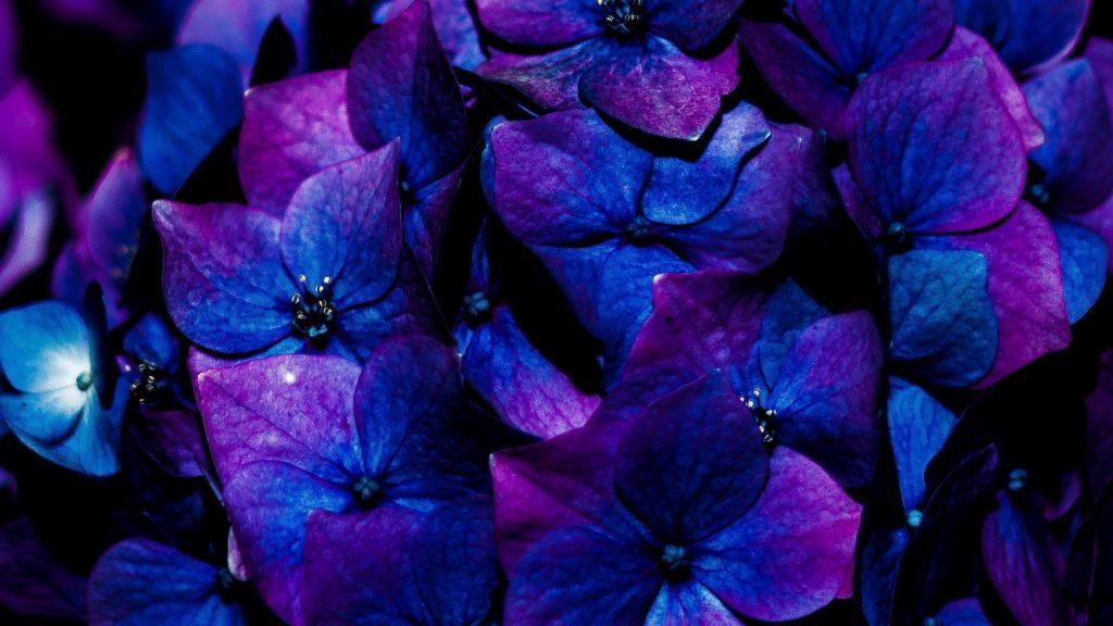 Цветы гортензии соцветия цветы обои скачать
