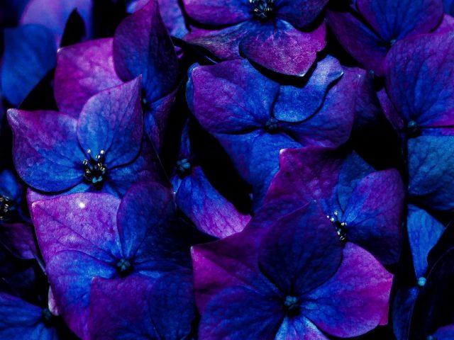 Цветы гортензии соцветия цветы