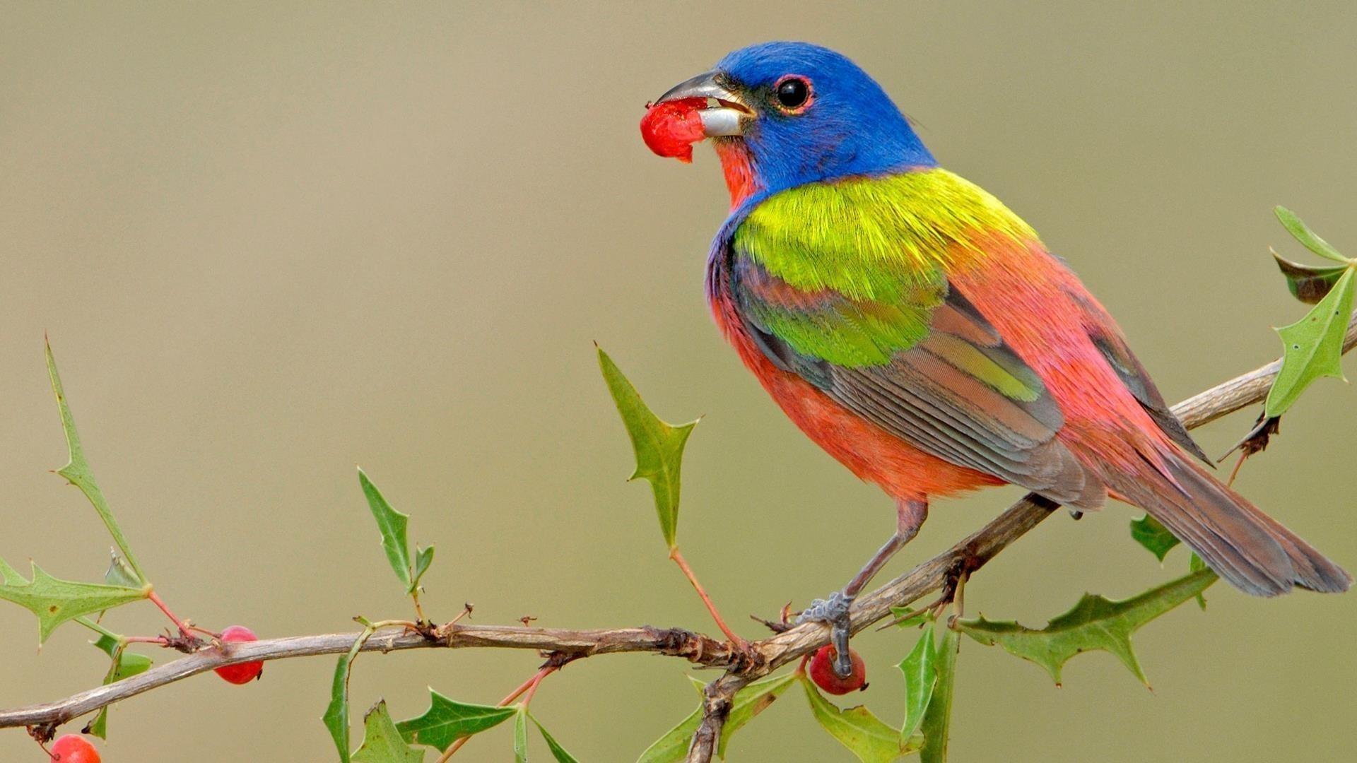 Сине зеленая персиковая птица с листом во рту сидит на ветке ягодного дерева птицы обои скачать