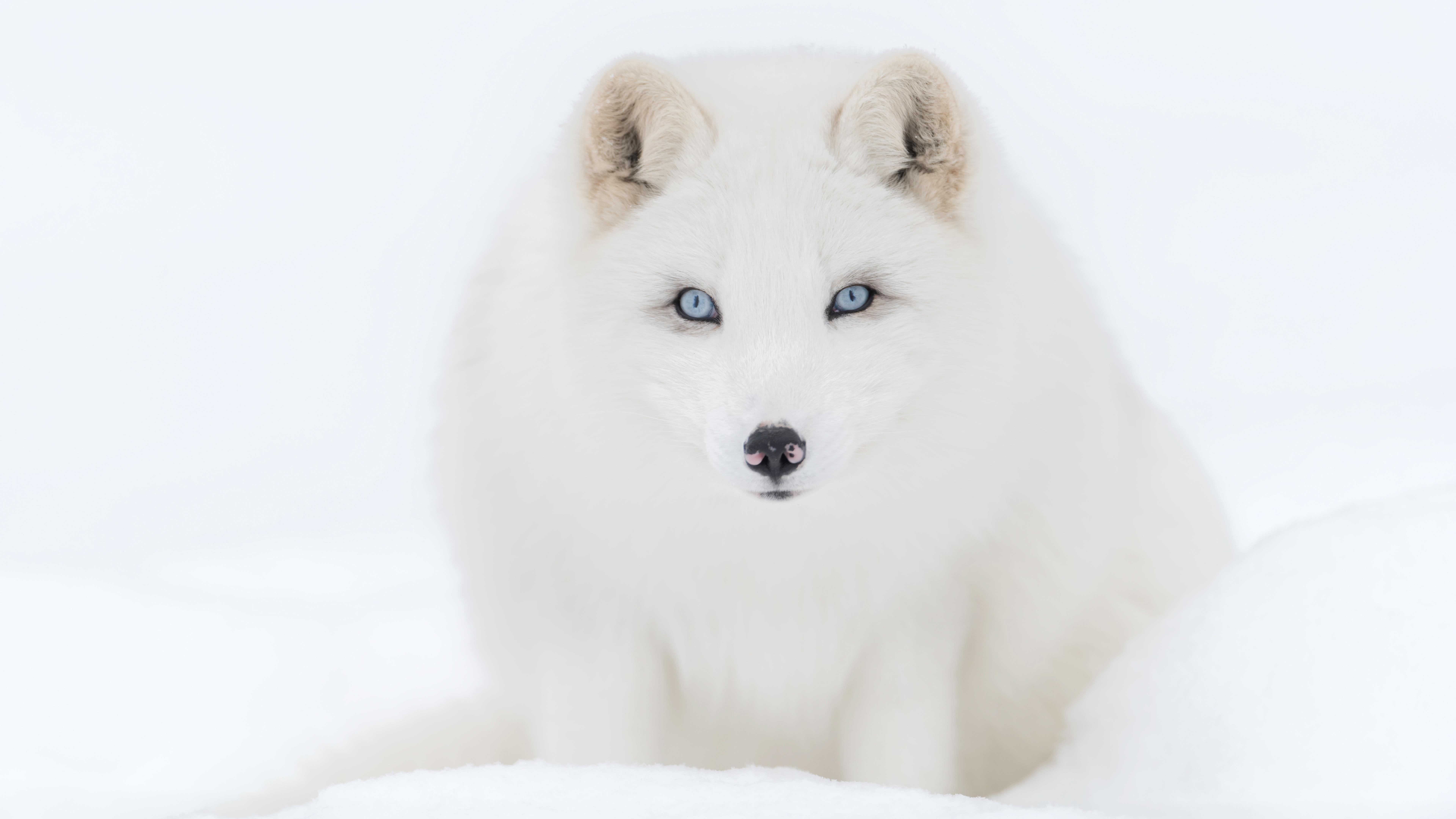 Канадская эскимосская собака обои скачать