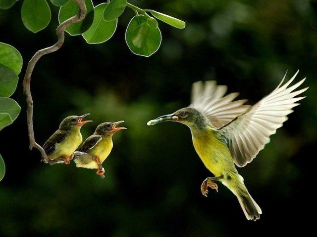 Зеленая птица с распахнутыми крыльями парит в размытом зеленом фоне кормит птенцов птиц