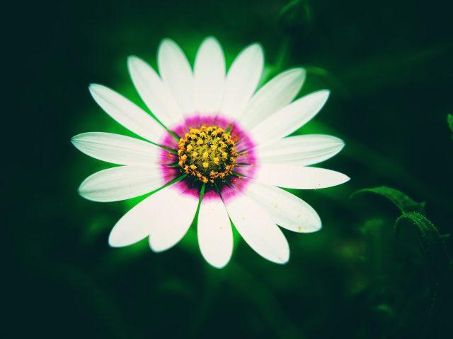 Белый Daisy цветок