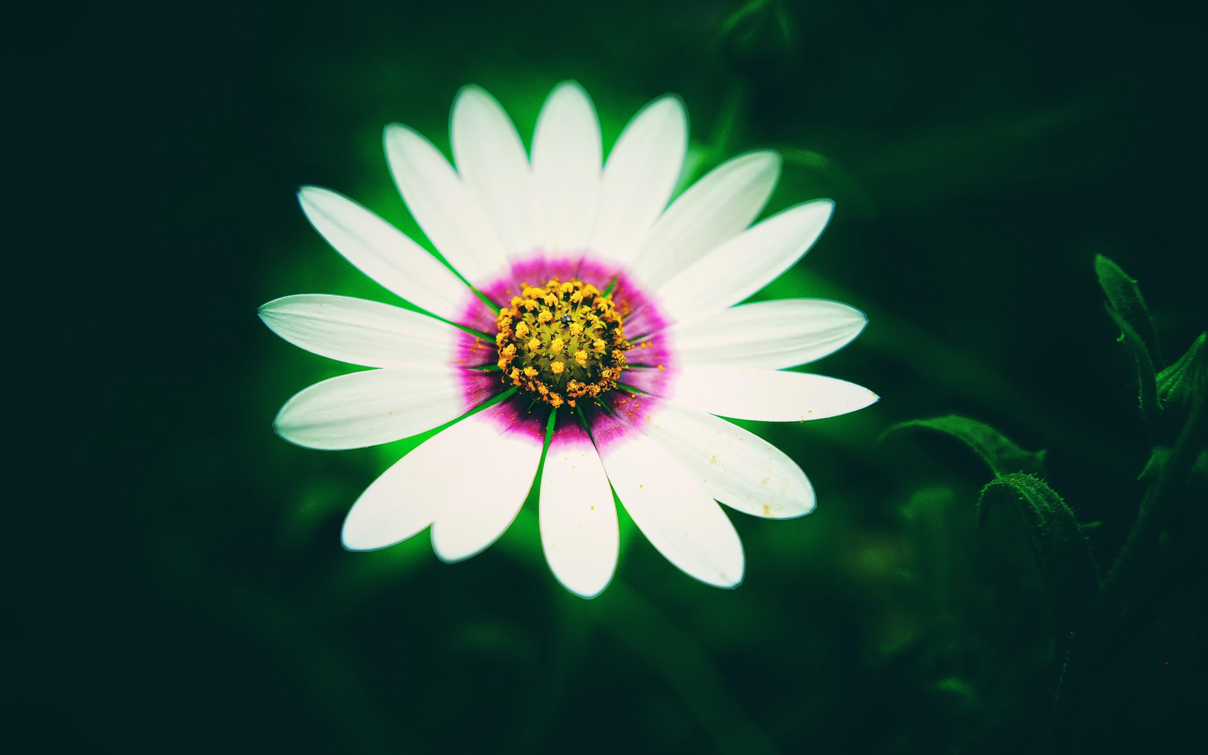 Белый Daisy цветок обои скачать