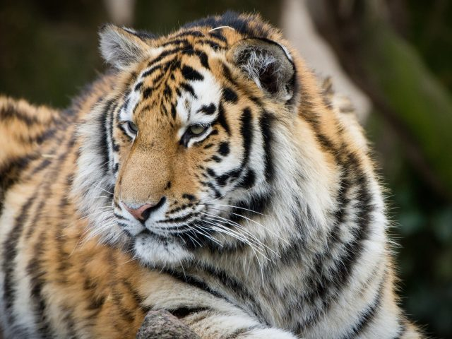 Big тигр