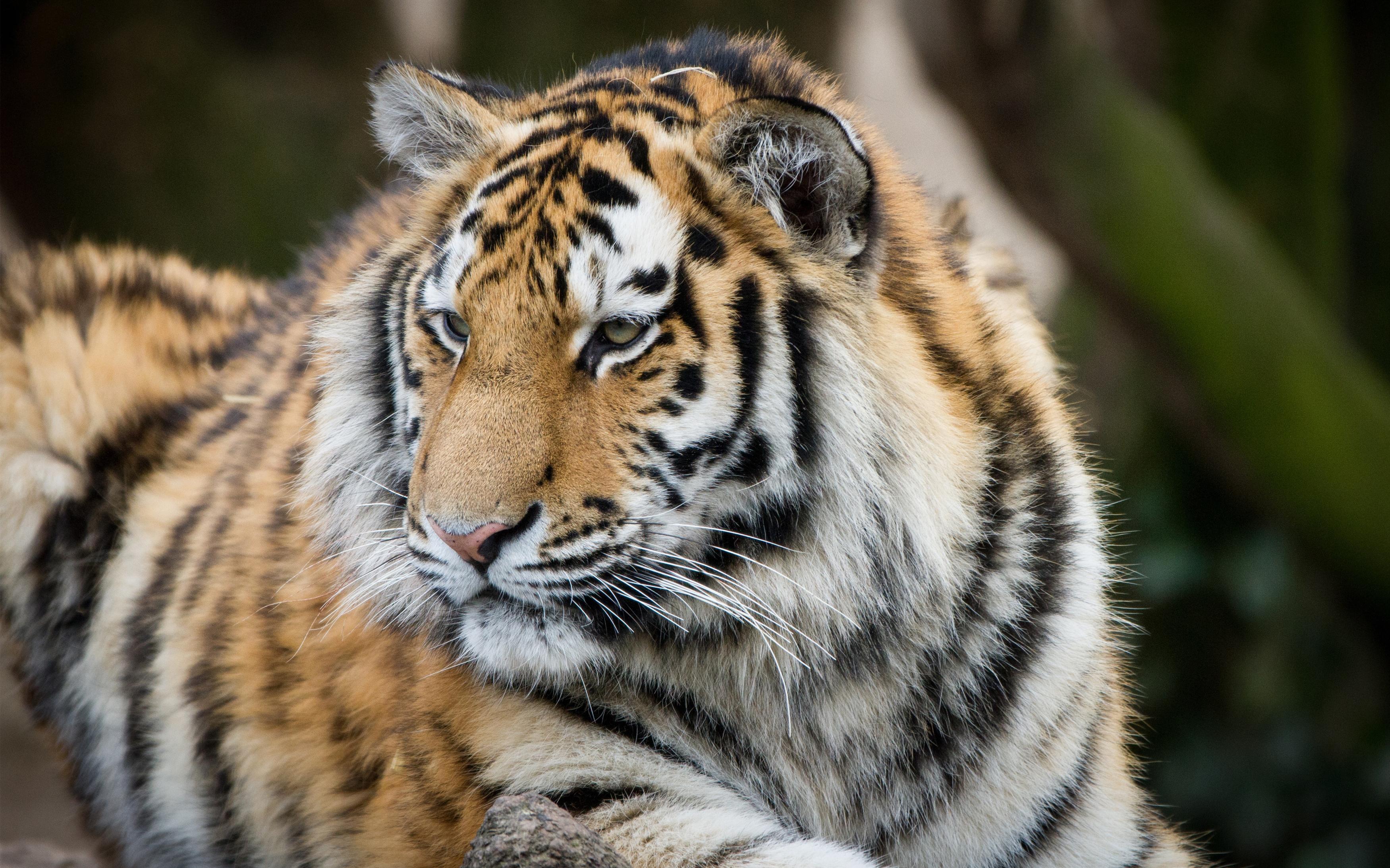 Big тигр обои скачать