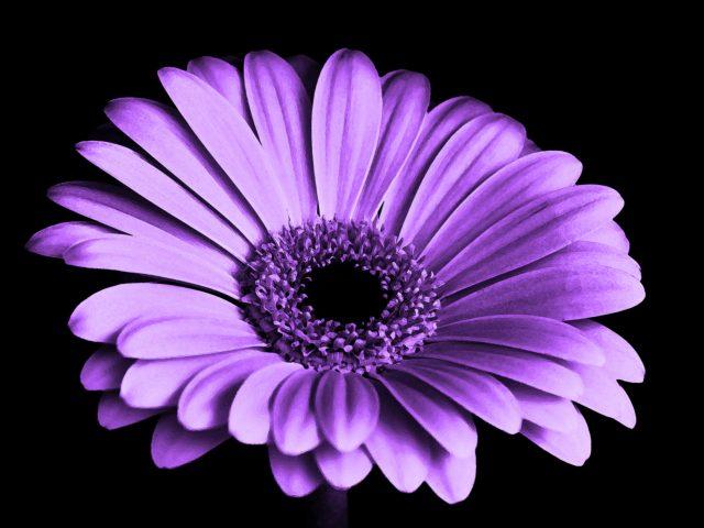 Фиолетовый Маргаритка цветок