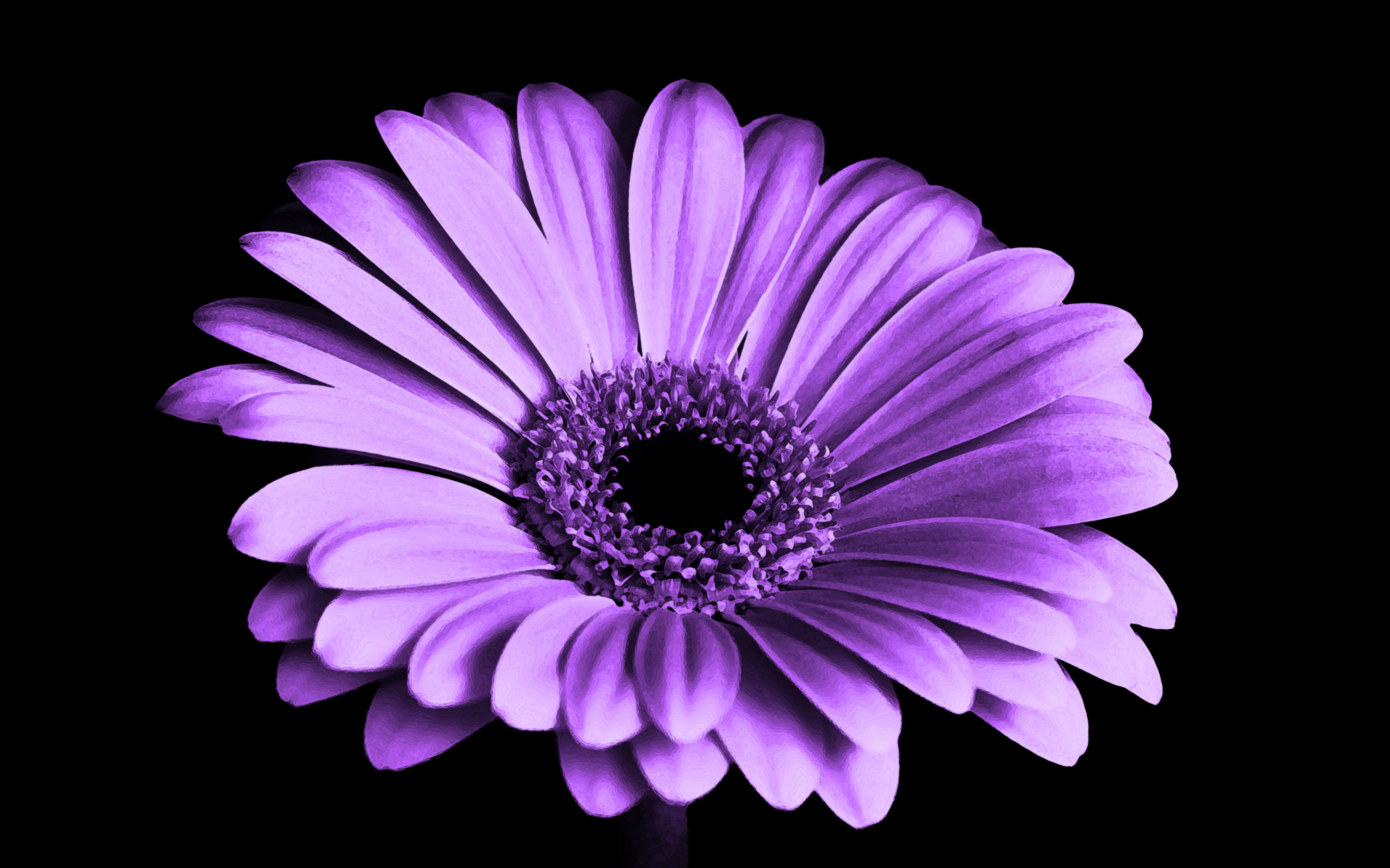 Фиолетовый Маргаритка цветок обои скачать