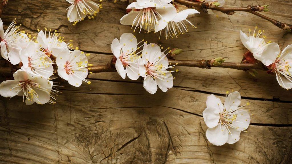 Белые вишневые цветы на деревянном столе цветы обои скачать