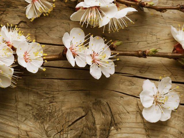 Белые вишневые цветы на деревянном столе цветы