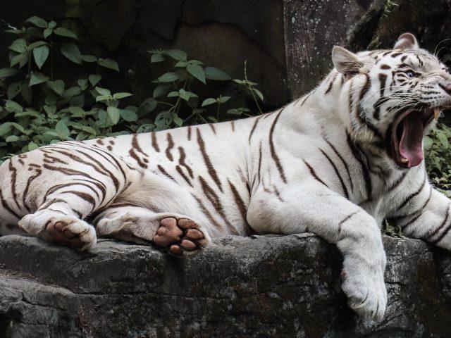 Белый тигр лжет