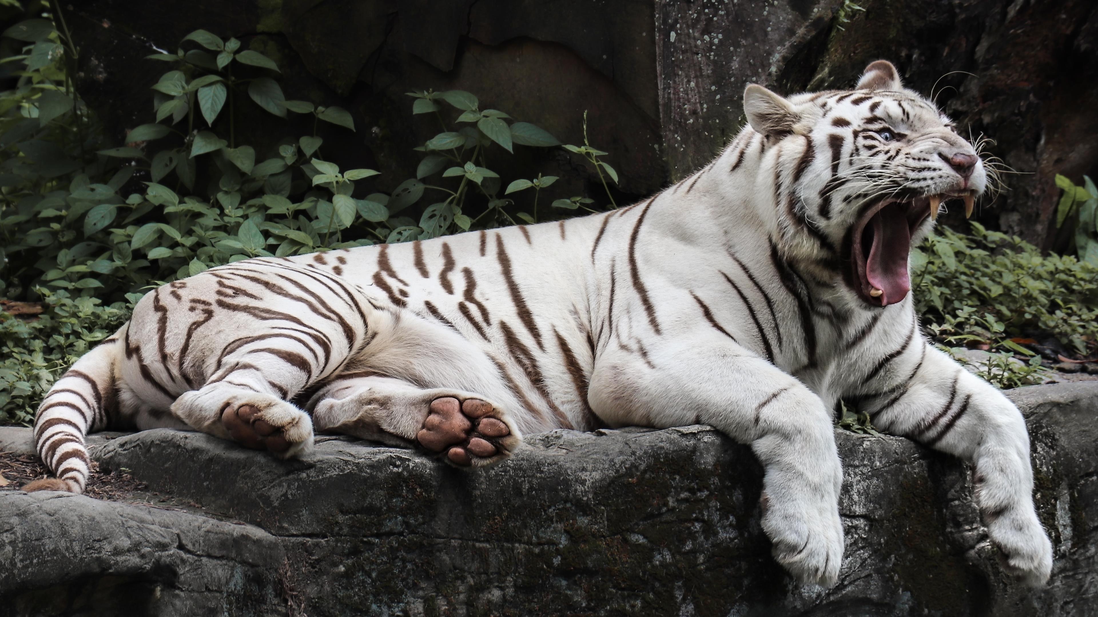 Белый тигр лжет обои скачать