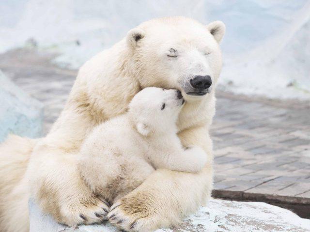 Белый медведь с детенышами