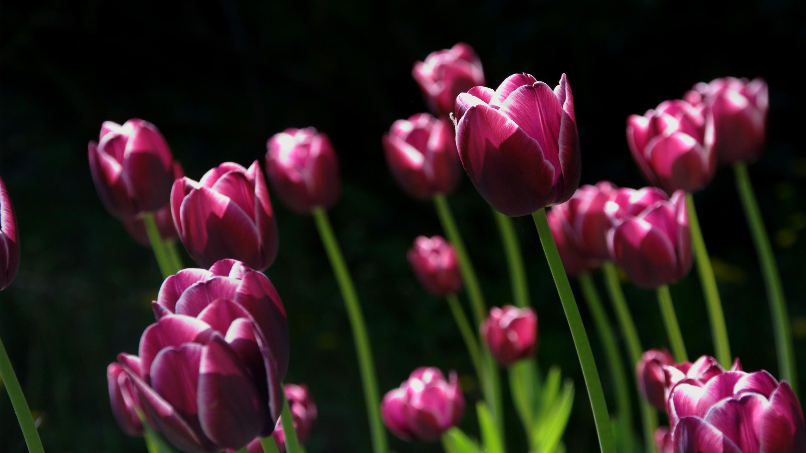 Розовые весенние тюльпаны. обои скачать