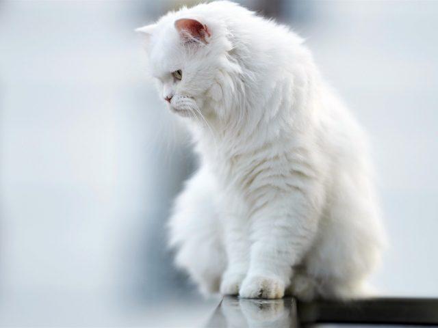 Животное кошка смотрит вниз