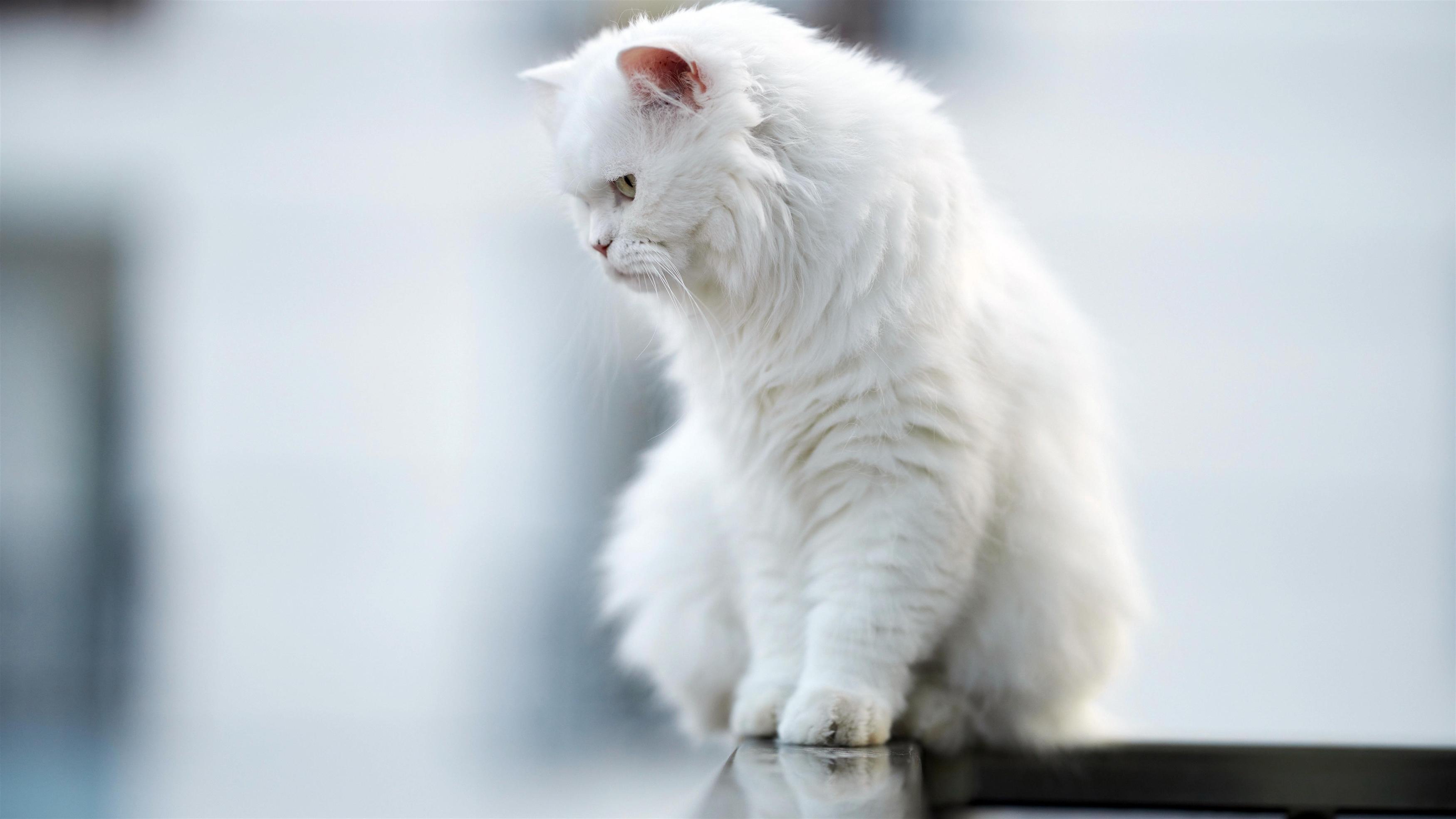 Животное кошка смотрит вниз обои скачать