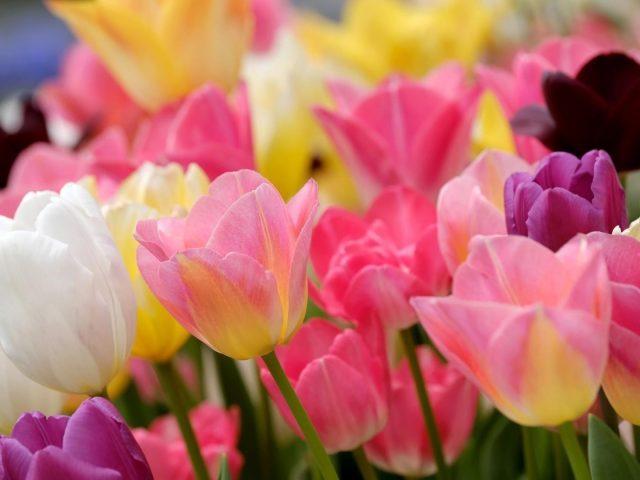 Красочные цветы тюльпана размывают фоновые цветы