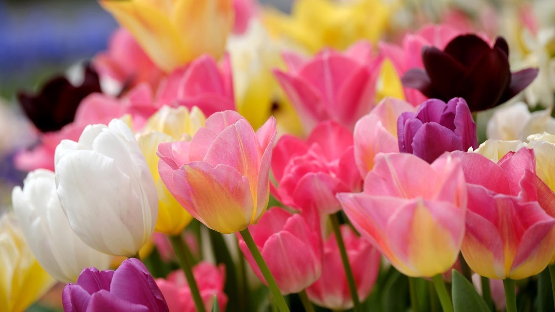 Красочные цветы тюльпана размывают фоновые цветы обои скачать