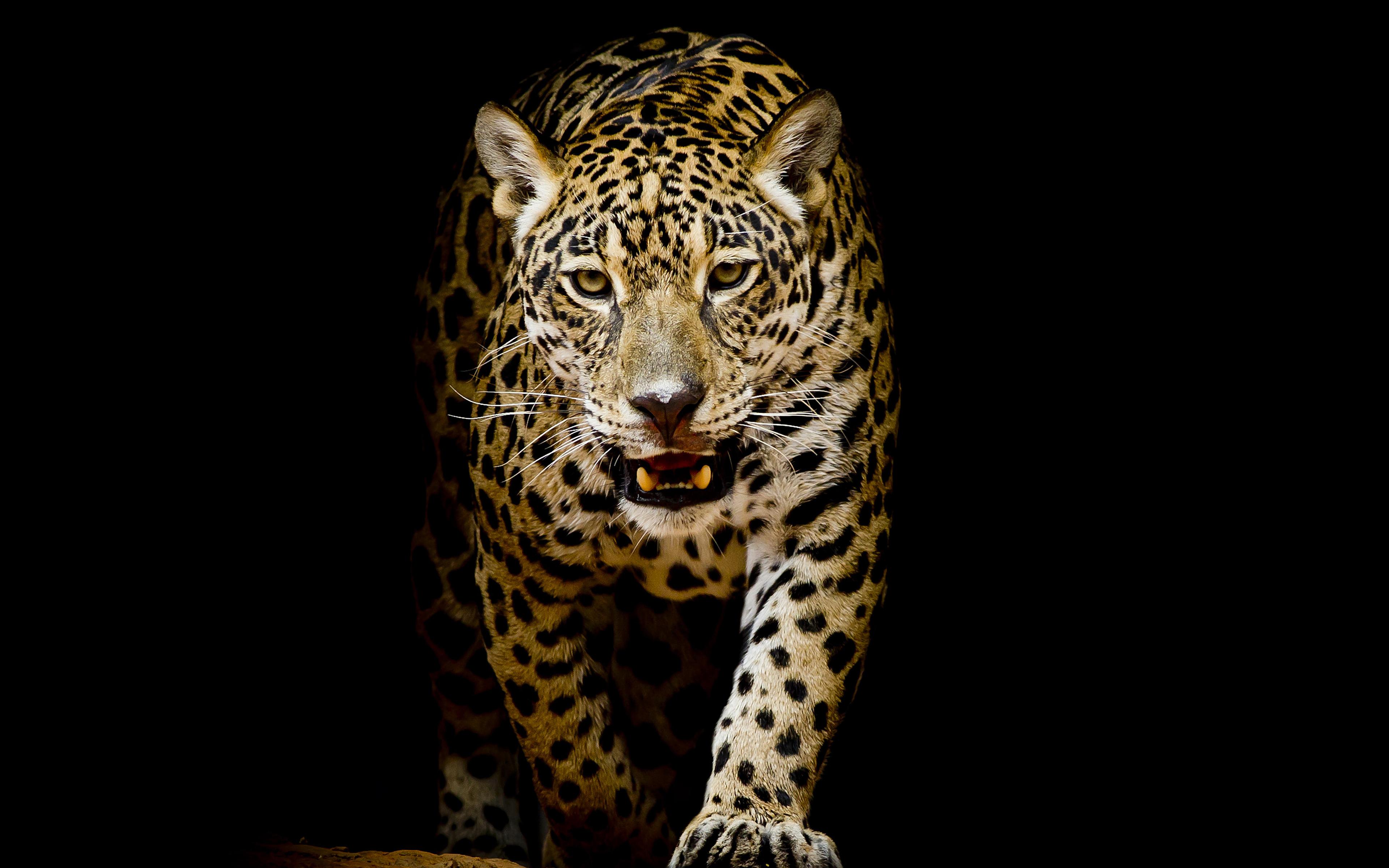 Леопард обои скачать