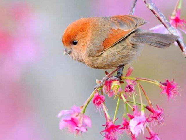 Красивая маленькая оранжево коричневая птичка на ветке дерева с цветами птички