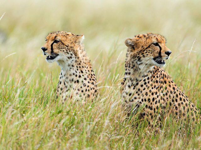 Животное гепард лес