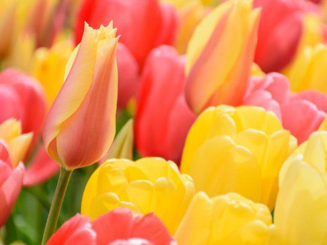 Красные желтые цветы тюльпана полевые цветы
