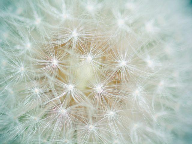 Цветок одуванчик макро