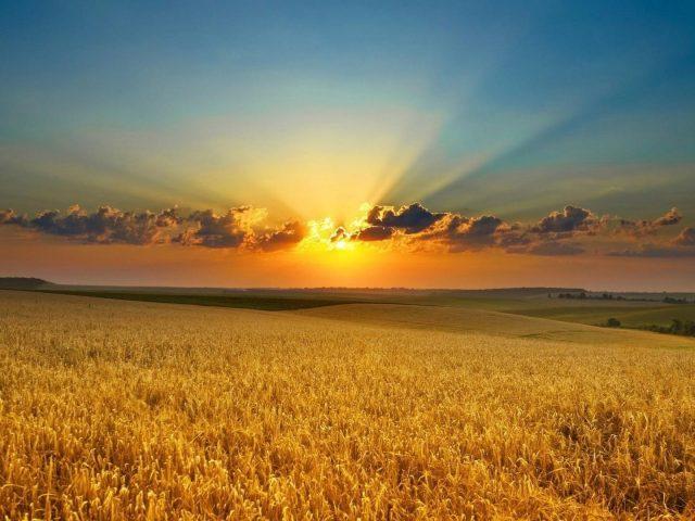 Прекрасный восход солнца пшеничное поле природа