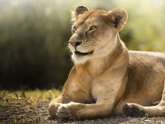 Африканская львица