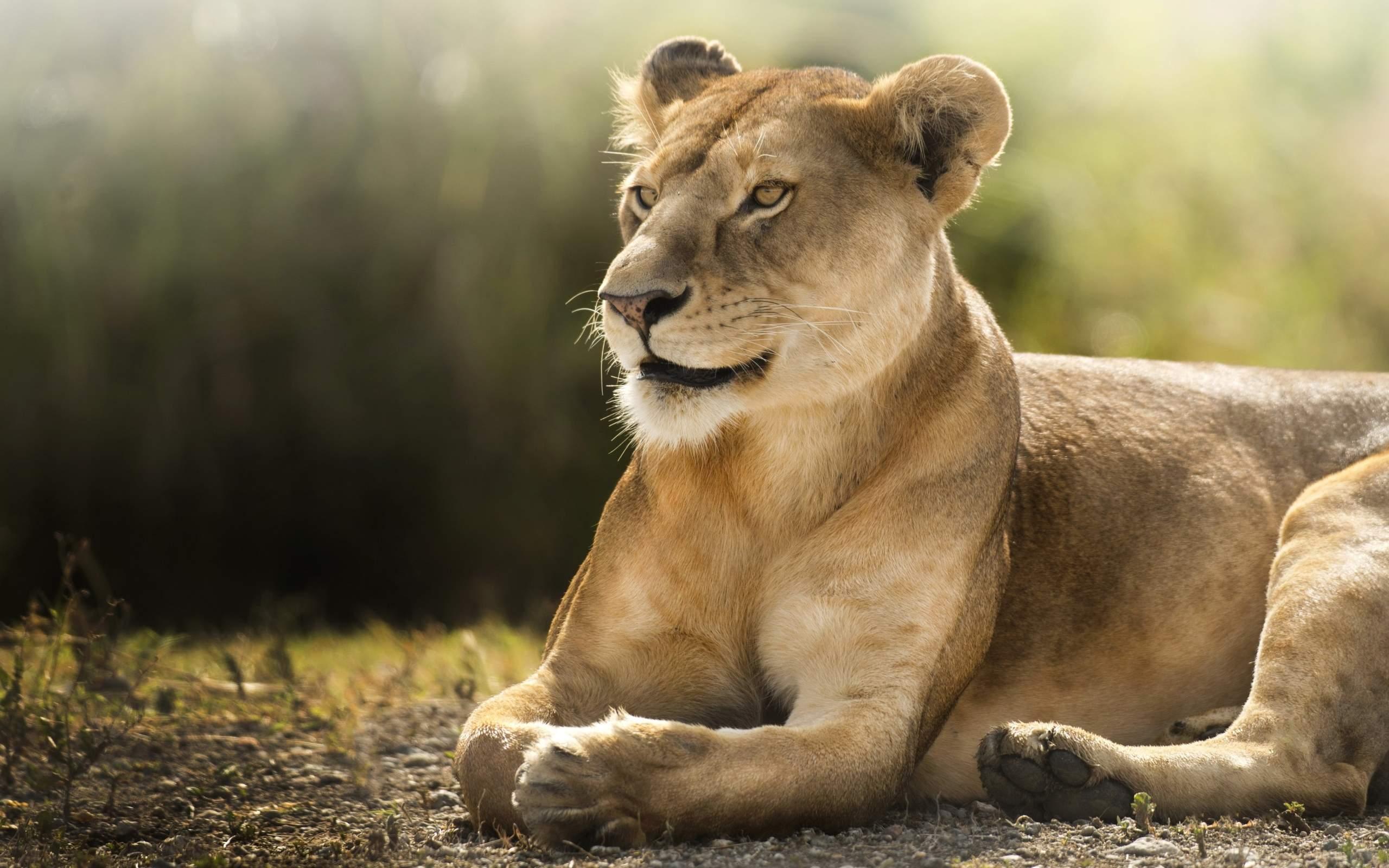 Африканская львица обои скачать